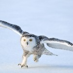 A female snowy owl