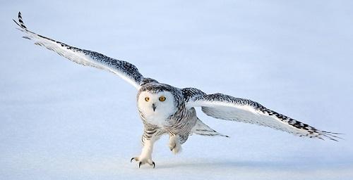A female snowy owl