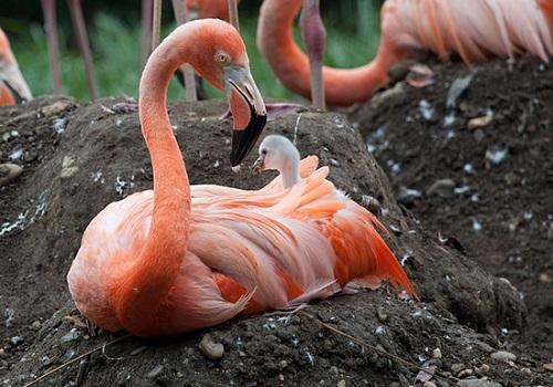 A nesting flamingo