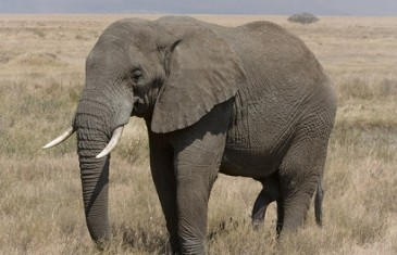 African Elephant – Loxodonta Africana