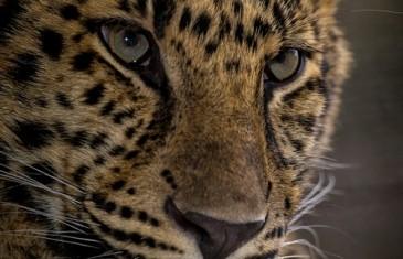 Leopard – Panthera pardus