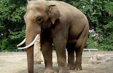 Elephant – Elephantidae