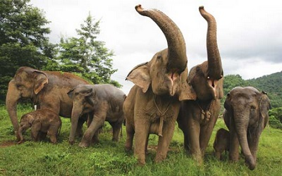 Asian elephants from the Elephant Nature Park