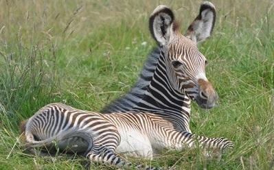 Baby Grevy's Zebra