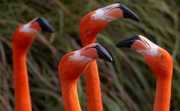 Caribean Flamingos from San Diego Zoo