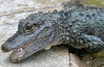 Chinese Alligator – Alligator sinensis