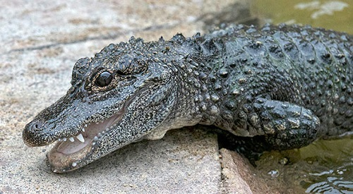 Chinese Alligator from the San Diego Zoo