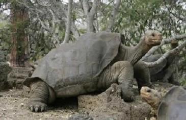 Galapagos Giant Tortoise – Chelonoidis nigra