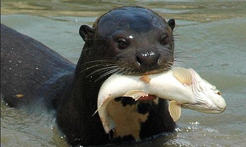 Giant Otter Pteronura brasiliensis