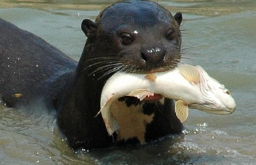 Giant Otter –Pteronura brasiliensis