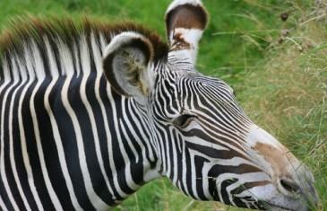 Grevyi's Zebra – Equus grevyi