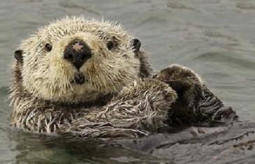 Sea Otter – Enhydra lutris