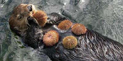 Sea otter eating sea urchins