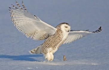 Snowy Owl – Bubo scandiacus
