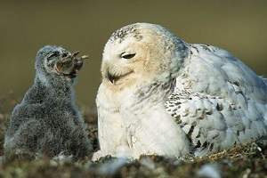 snowy owlet facts about animals