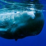 Sperm Whale 2