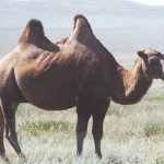 Wild Bactrianh Camel in Mongolia