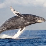 Humpback Whale leaping