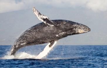Humpback Whale – Megaptera novaeangliae