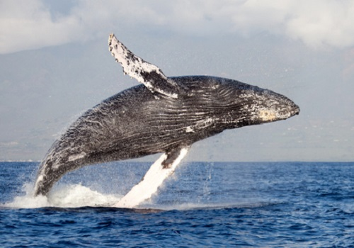 Ocean Whales Facts Atlantic Ocean Humpback Whale