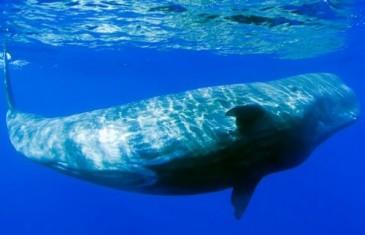 Sperm Whale – Physeter macrocephalus