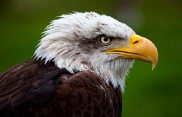 Bald Eagle – Haliaeetus leucocephalus