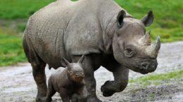 Black Rhinoceros – Diceros bicornis