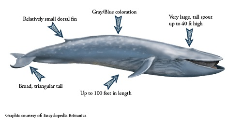a description of the blue whales Description: blue whales, named for their bluish-gray coloration, are known for their immense size their coloration often includes grayish or whitish areas.