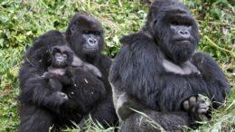 Mountain Gorilla – Gorilla beringei beringei