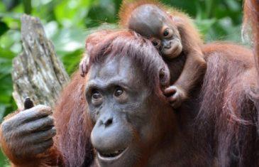 Orangutan – Pongo