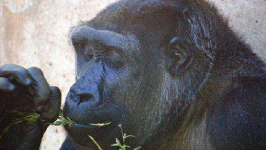 Western Gorilla – Gorilla gorilla