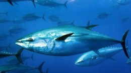 Atlantic Bluefin Tuna – Thunnus thynnus
