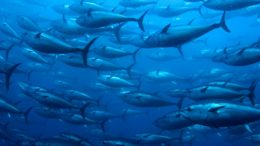 Pacific Bluefin Tuna – Thunnus orientalis