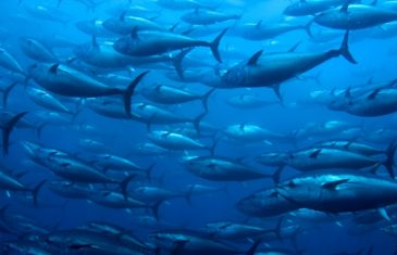 Image of: Sea Creatures Pacific Bluefin Tuna Thunnus Orientalis Wildlife Society Open Ocean Animals Facts About Animals