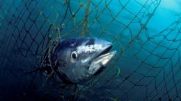 Southern Bluefin Tuna – Thunnus maccoyii