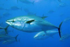 Southern Bluefin Tuna Greenpeace