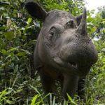Sumatran Rhino, Indonesia
