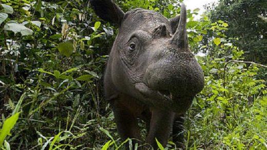 Sumatran Rhinoceros – Dicerorhinus sumatrensis