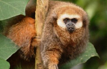 Andean Titi Monkey – Callicebus oenanthe