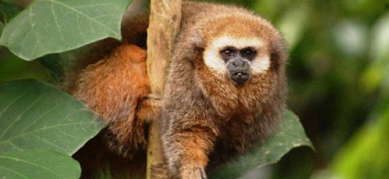 andean-titi-monkey