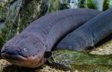 Electric Eel -Electrophorus electricus