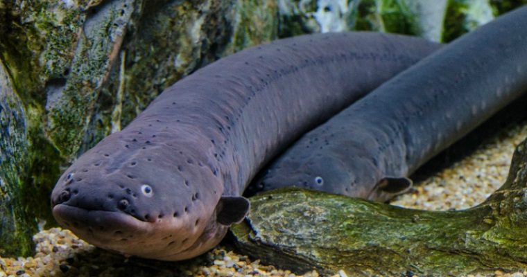 Electric Eel on electric fish