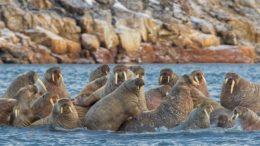 Walrus – Odobenus rosmarus