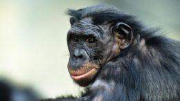 Bonobo – Pan Paniscus