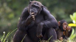 Chimpanzee – Pan troglodytes
