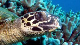 Hawksbill Sea Turtle – Eretmochelys imbricata
