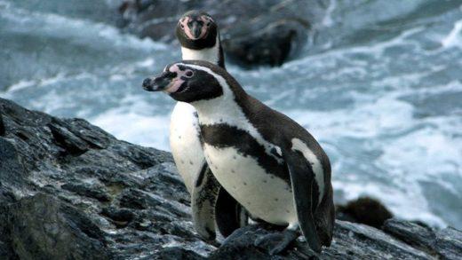 Humboldt Penguin-Spheniscus humboldti
