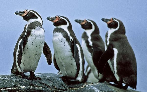 Humboldt Penguin-Spheniscus humboldti | Facts About Animals