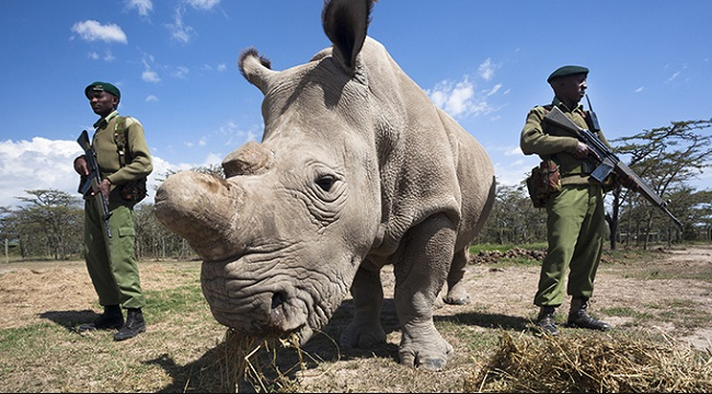 Northern White Rhinoceros – C  s  cottoni | Facts About Animals